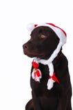 Perro del perro perdiguero de Labrador del chocolate Imagen de archivo libre de regalías