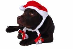 Perro del perro perdiguero de Labrador del chocolate Imagenes de archivo