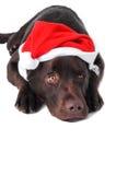 Perro del perro perdiguero de Labrador del chocolate Foto de archivo