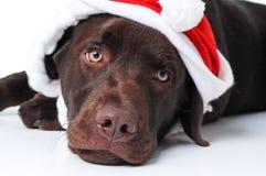 Perro del perro perdiguero de Labrador del chocolate Fotos de archivo