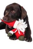 Perro del perro perdiguero de Labrador del chocolate Foto de archivo libre de regalías