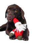 Perro del perro perdiguero de Labrador del chocolate Fotografía de archivo libre de regalías