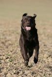 Perro del perro perdiguero de Labrador que se ejecuta Fotografía de archivo