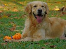 Perro del perro perdiguero de oro fotos de archivo libres de regalías