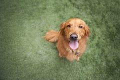 Perro del perro perdiguero de oro en hierba fotos de archivo