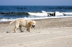 Perro del perro perdiguero de oro en la playa Imagenes de archivo