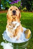 Perro del perro perdiguero de oro infeliz con su baño Fotos de archivo libres de regalías