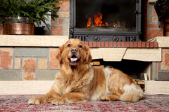 Perro del perro perdiguero de oro que miente cerca de una chimenea imagen de archivo libre de regalías