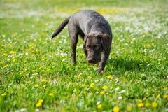 Perro del perro perdiguero del negro de Labrador del perrito Imagenes de archivo