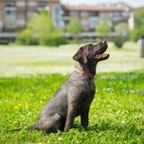 Perro del perro perdiguero del negro de Labrador del perrito Imagen de archivo