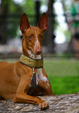 Perro del Pharaoh Imagen de archivo libre de regalías