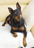 Perro del Pinscher Fotos de archivo