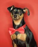 Perro del Pinscher miniatura. Imagen de archivo