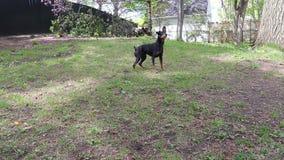 Perro del Pinscher que goza jugando la bola al aire libre almacen de metraje de vídeo
