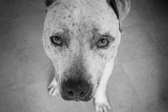 Perro del pitbull en blanco y negro Fotografía de archivo