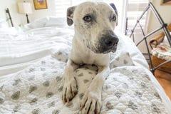 Perro del pitbull que se sienta en una cama blanca Foto de archivo