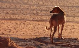 Perro del postre Foto de archivo