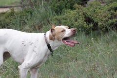 Perro del prado Foto de archivo
