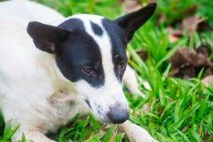 Perro del primer que se relaja en el piso de la hierba en el jardín Fotos de archivo