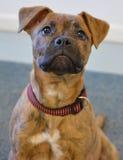 Perro del refugio - perrito de la mezcla del boxeador imagenes de archivo