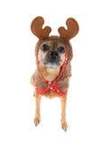 Perro del reno Imagenes de archivo