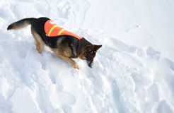 Perro del rescate de la avalancha en búsqueda Imagenes de archivo