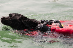 Perro del rescate del agua foto de archivo