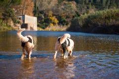 Perro del rescate del trabajo de agua de Landseer Foto de archivo