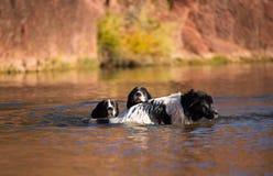 Perro del rescate del trabajo de agua de Landseer Imagen de archivo libre de regalías