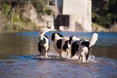 Perro del rescate del trabajo de agua de Landseer Imagenes de archivo