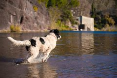 Perro del rescate del trabajo de agua de Landseer Fotografía de archivo libre de regalías