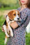 Perro del retrato, beagle en las manos de mujeres Fotografía de archivo