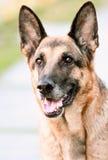 Perro del retrato, pastor alemán Imagen de archivo