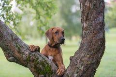 Perro del ridgeback de Rhodesian al aire libre imagen de archivo