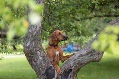 Perro del ridgeback de Rhodesian al aire libre imágenes de archivo libres de regalías