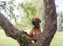 Perro del ridgeback de Rhodesian al aire libre foto de archivo libre de regalías