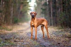 Perro del ridgeback de Rhodesian al aire libre fotos de archivo libres de regalías