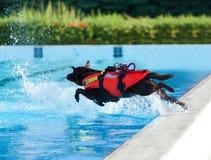 Perro del salvavidas en piscina Imagen de archivo libre de regalías