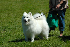 Perro del samoyedo Imágenes de archivo libres de regalías