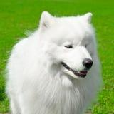 Perro del samoyedo Foto de archivo libre de regalías