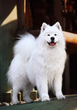 Perro del samoyedo Imagen de archivo libre de regalías