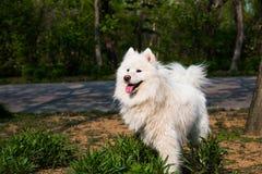 Perro del samoyedo Fotografía de archivo