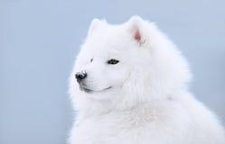 Perro del samoyedo Imagenes de archivo