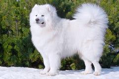 Perro del samoyedo - campeón de Rusia Imagen de archivo