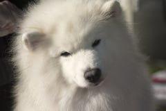 Perro del samoyedo con la cabeza amontonada al lado Imagen de archivo