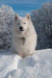 Perro del samoyedo en bosque del invierno Imagen de archivo libre de regalías