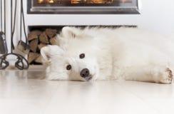 Perro del samoyedo en casa Imagen de archivo libre de regalías