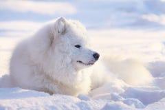 Perro del samoyedo en nieve Fotos de archivo libres de regalías