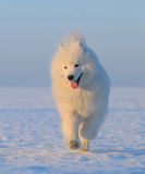 Perro del samoyedo - perro blanco como la nieve de Rusia Imagenes de archivo