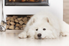 Perro del samoyedo por la chimenea Foto de archivo libre de regalías
